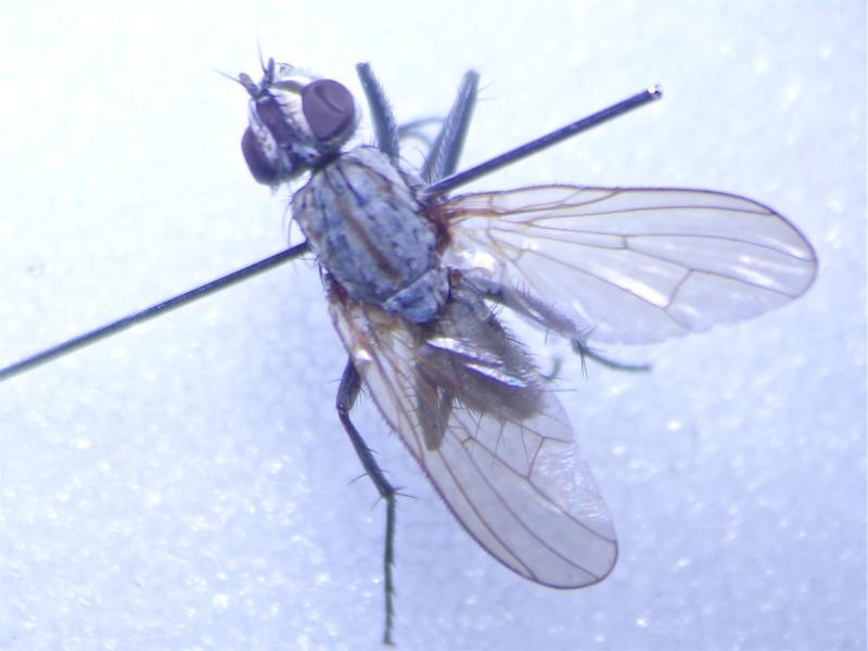 Leucophora grisella