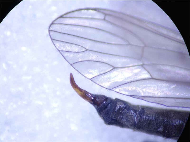 Tricyphona immaculata