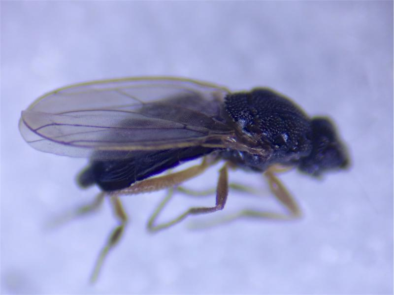 Ischiolepta nitida