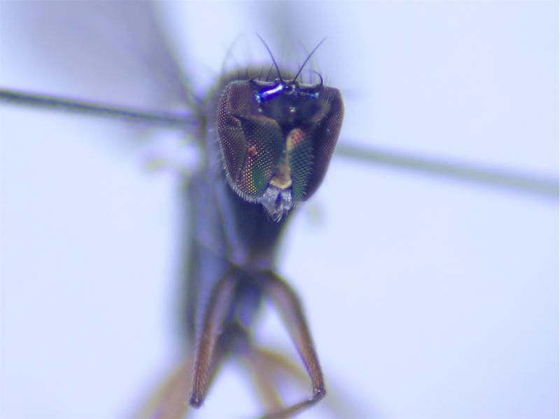 Campsicnemus curvipes(m)