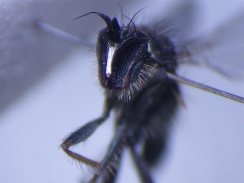 Rhaphium consobrinum(m)
