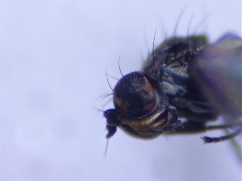 Hydrellia fulviceps