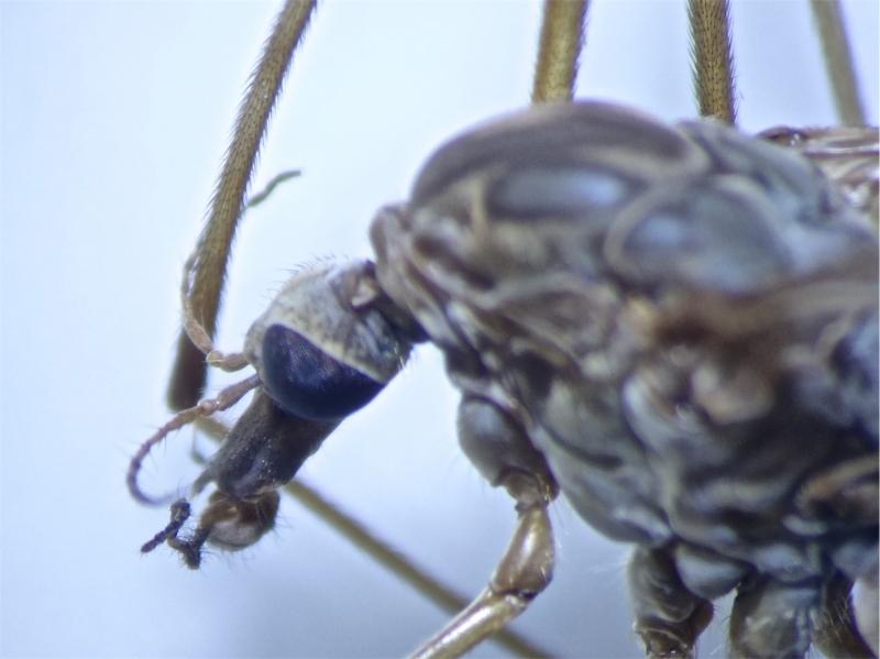 Tipula scripta(f)