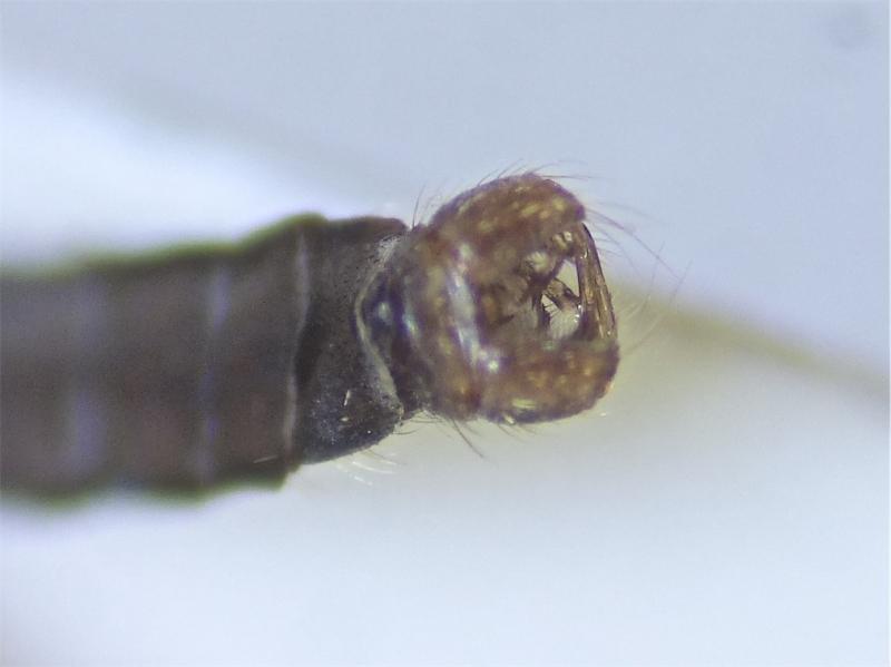 Erioptera fusculenta