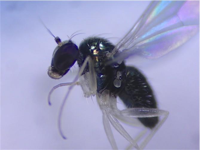 Dolichophorus kerteszi
