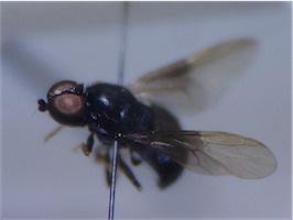 Pachygaster atra