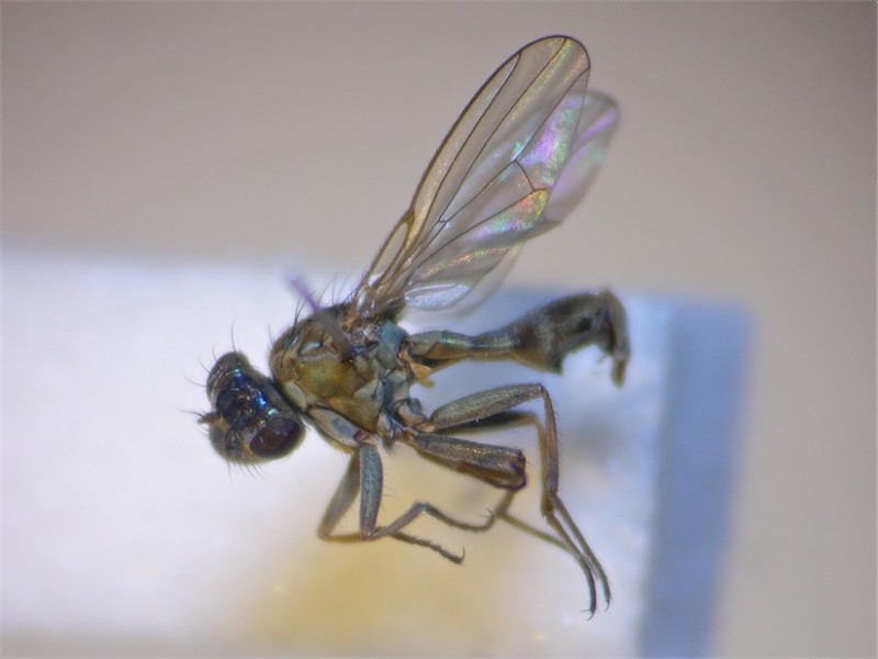 Ephydra riparia(m)