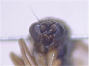 Phoridae indet.