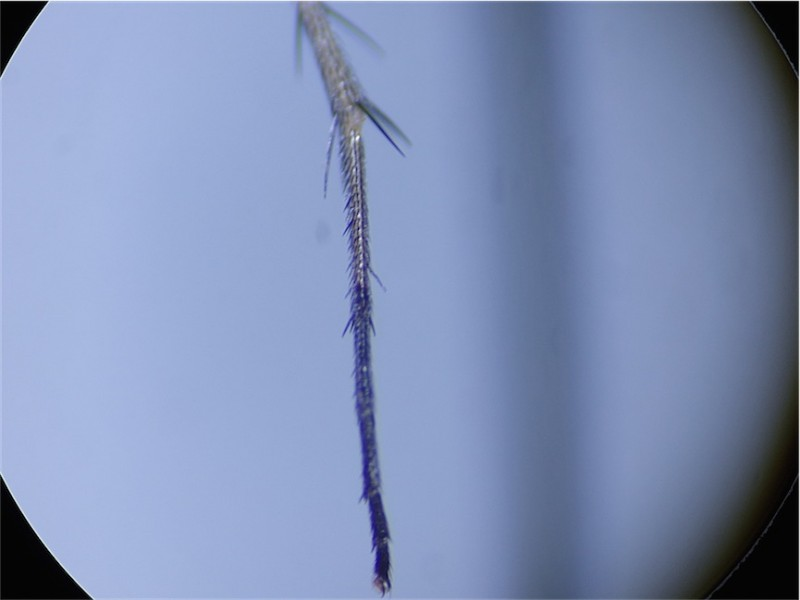 Dolichopus festivus