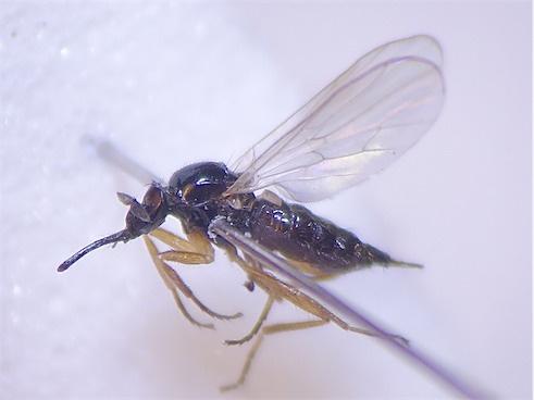Euthyneura myrtilli