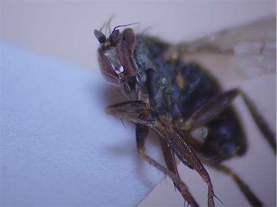 Dolichopus clavipes(m)