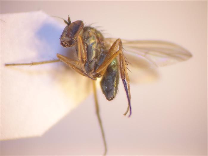 Rhaphium consobrinum