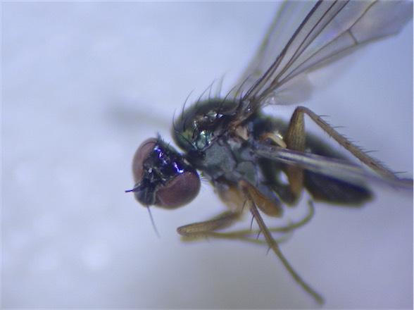Syntormon pumilis