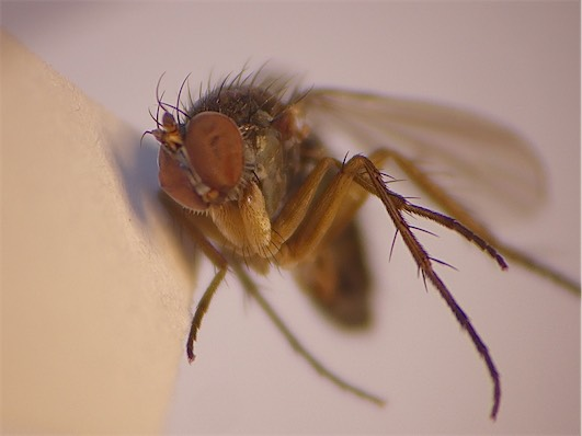 Dolichopus strigipes(m)