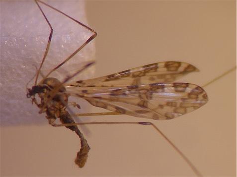Ilisia maculata