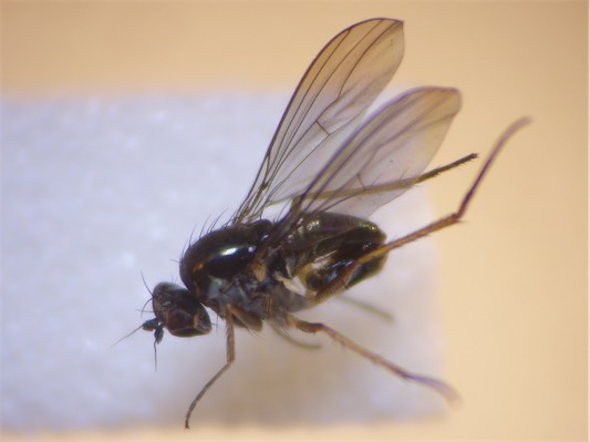 Gymnopternus silvestris