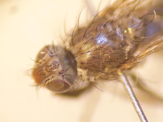 Fucellium tergina