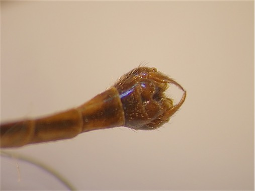 Nephrotoma scurra(m)