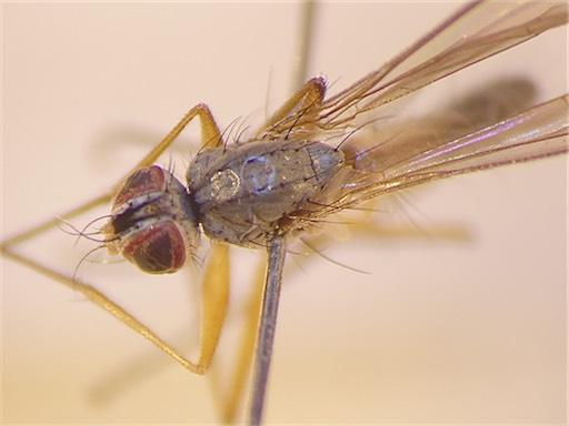 Spanochaeta dorsalis(f)