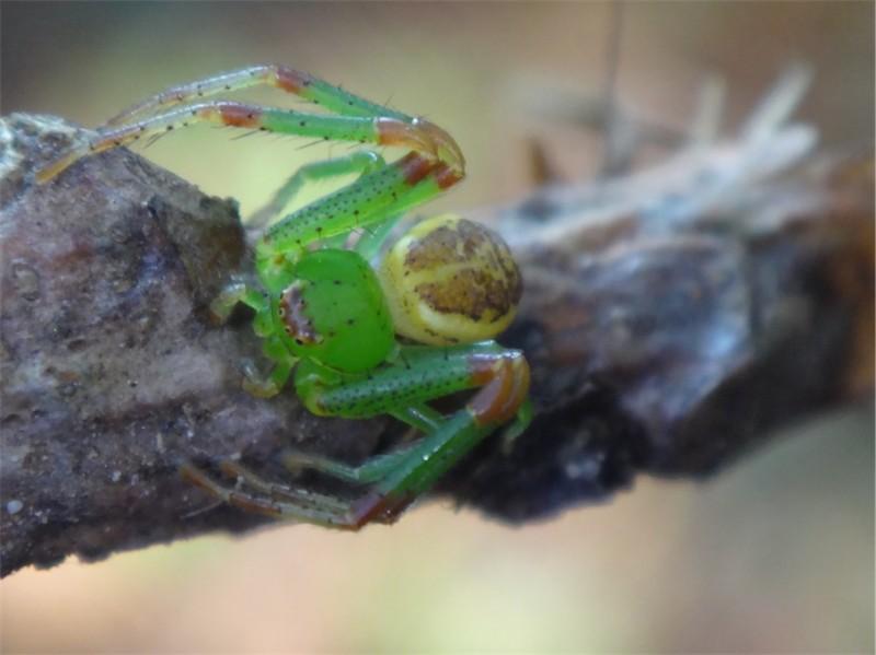 Diaea dorsata Groene krabspin
