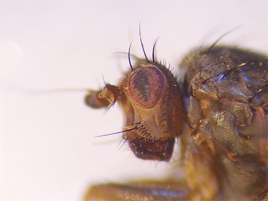 Oecothera praecox
