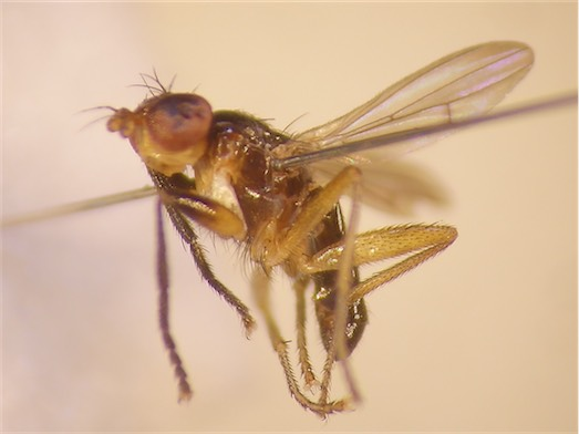 Pteromicra angustipennis