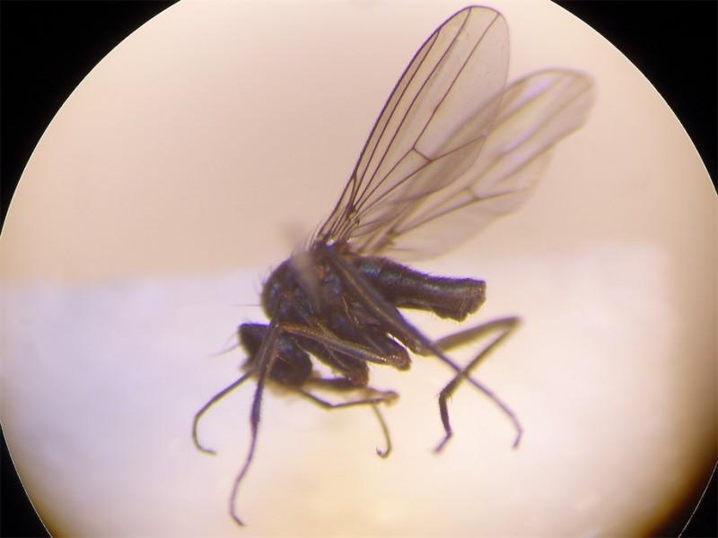 Campsicnemus armoricanus(f)