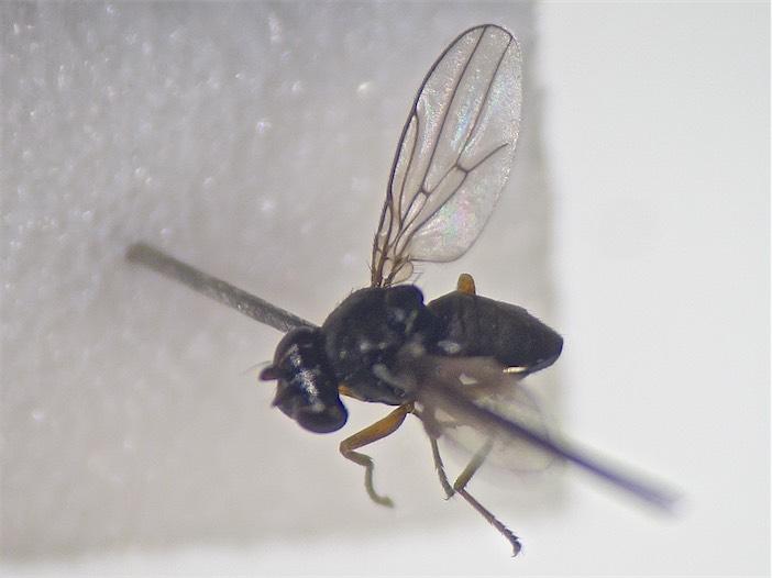 Hyadina humeralis