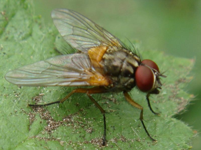 Mydaea corni(m)