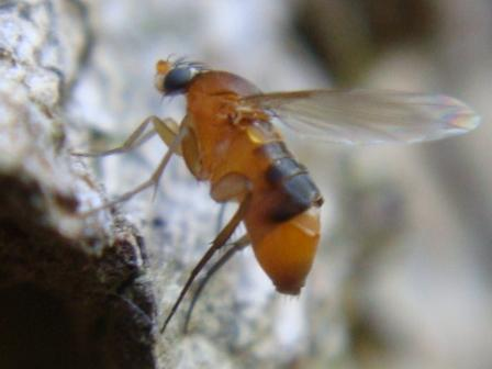 Phalacrotophora sp. KleinBochelvliegje