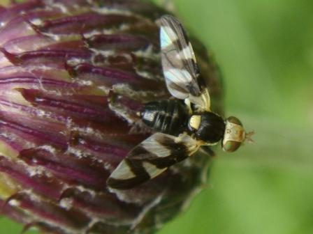 Urophora cardui