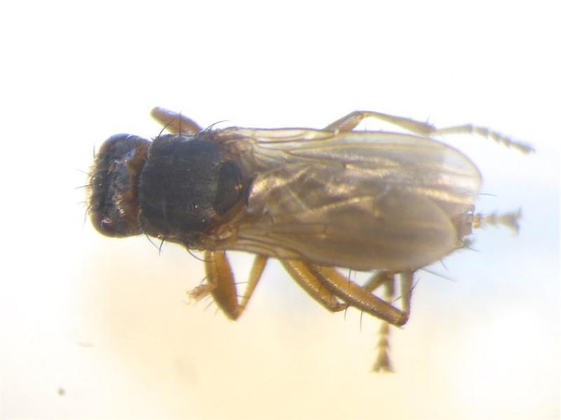 Orygma luctuosum.