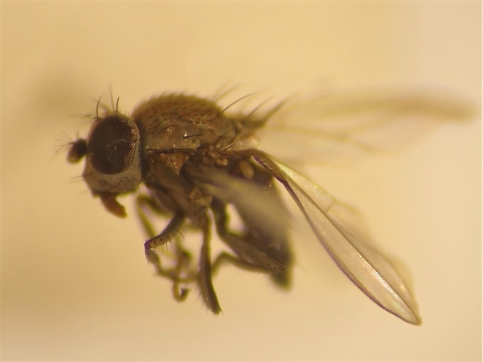 Allotrichoma spec.