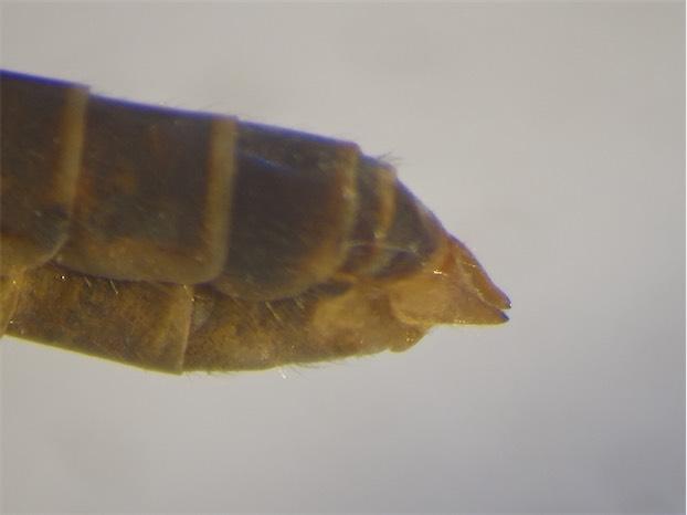 Tipula vernalis(m)