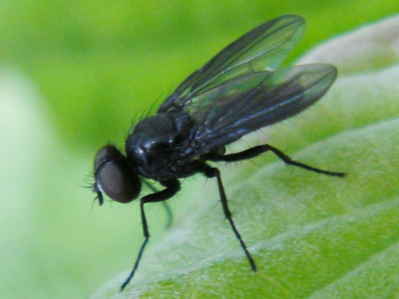 Melanomyia nana