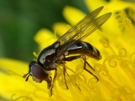 Platycheirus albimanus Mica Platvoetje