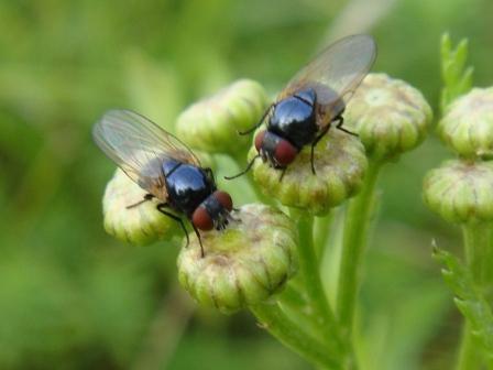 Lonchaeidae sp. Soort Lansvlieg