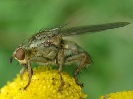 Scathophaga stercoria Gewone Strontvlieg