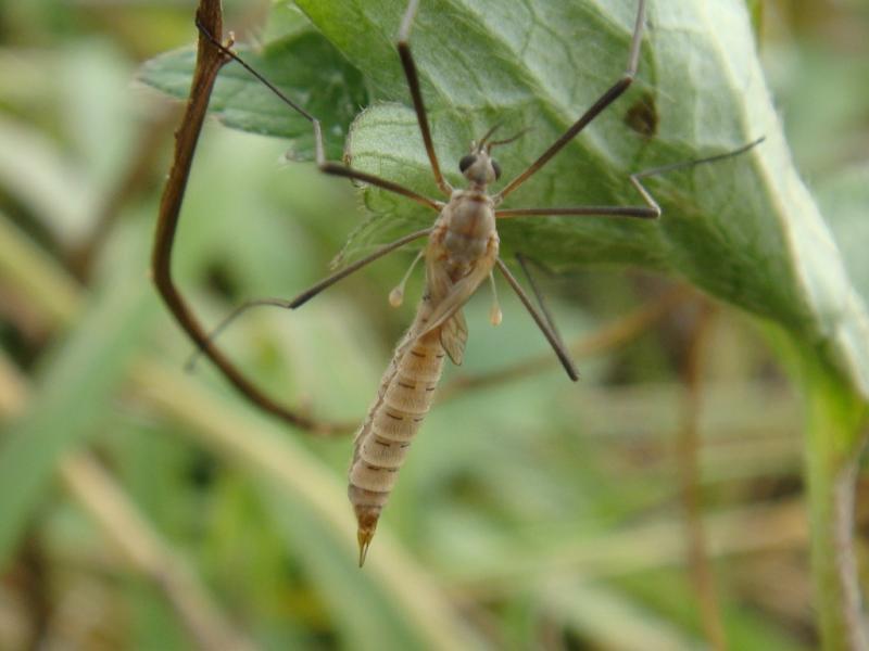 Tipula pagana(f)