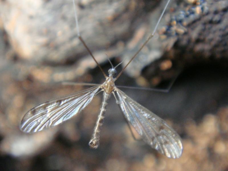 Achyrolimonia decemmaculata