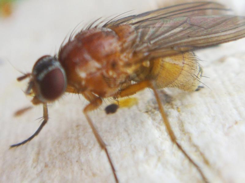 Thricops diaphanus(f)