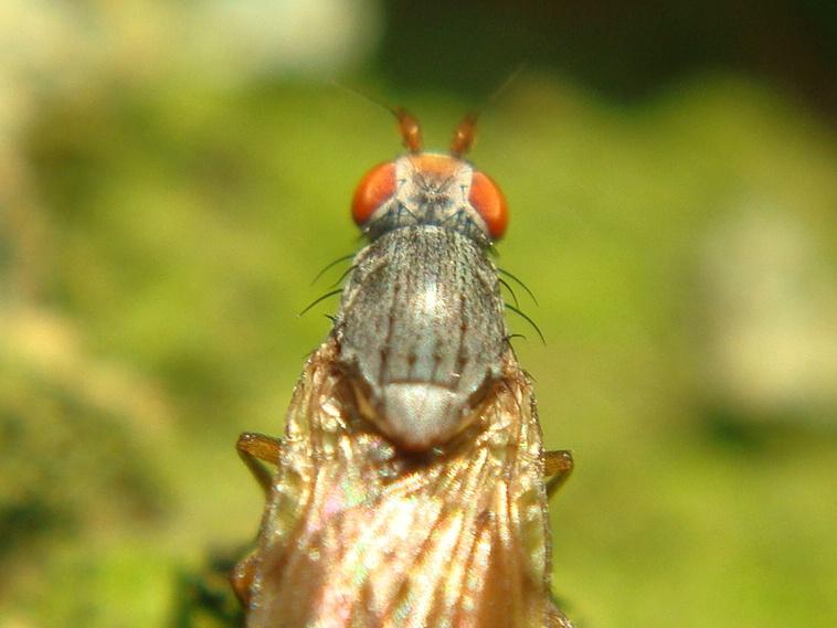 Tephrochlamys rufiventris