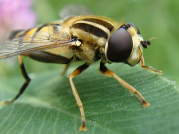 Helophilus trivitatus