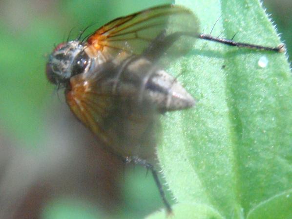 Alliopsis sylvestris
