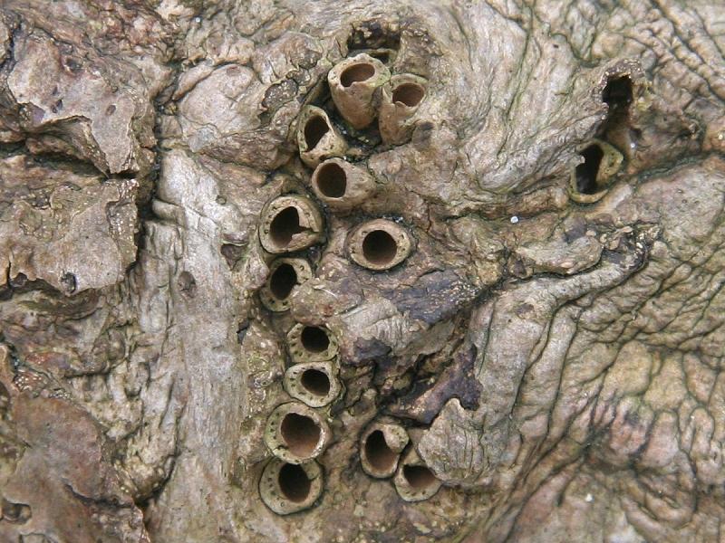 Andricus quercuscorticis