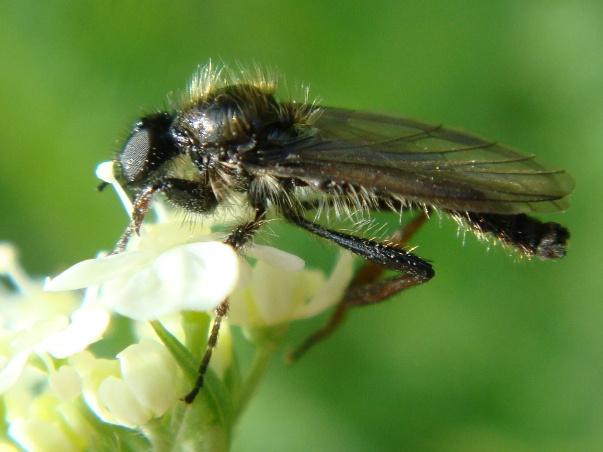 Bibio lanigerus(m)