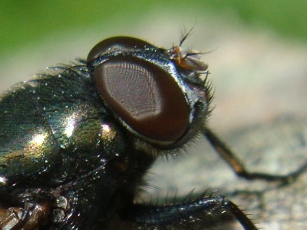 Protophormia terraenovae