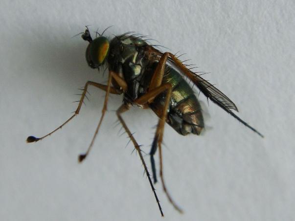 Dolichopus brevipennis