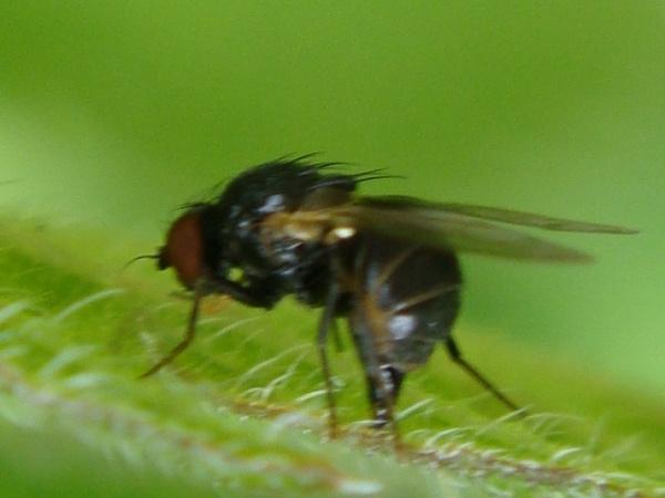 Agromyza pseudoreptans