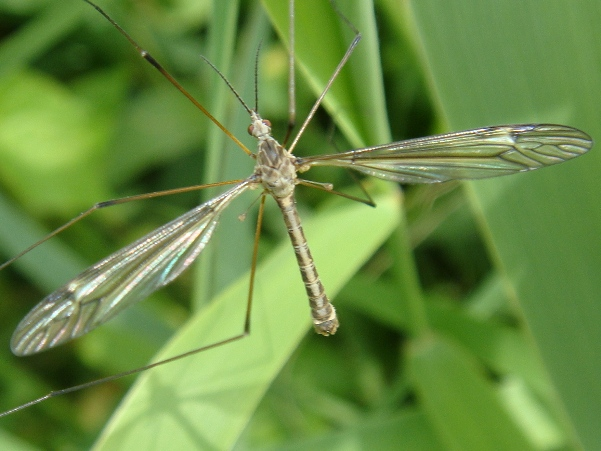 Tipula lateralis(m)